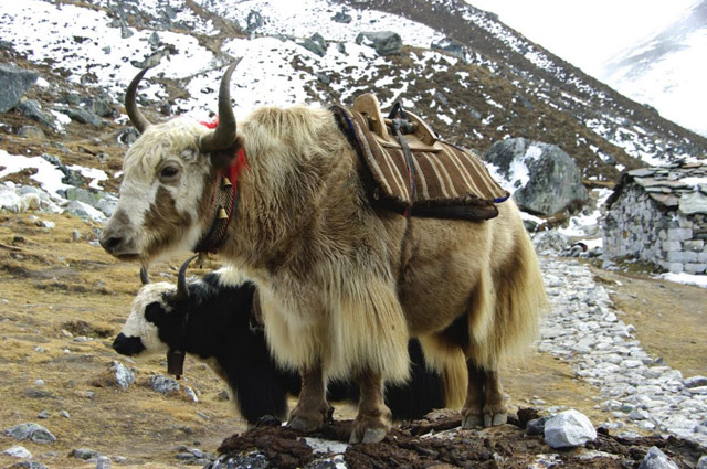 Yaks in meditation